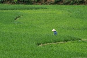 Soczysta zieleń wietnamskich pół ryżowych
