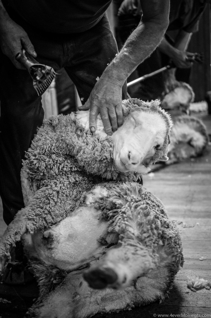 Sheep Shearing-42